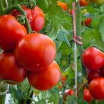 Plantar tomates en maceta